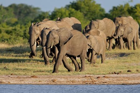 simbabwe: Herde der afrikanischen Elefanten (Loxodonta africana) auf ein Wasserloch, Hwange-Nationalpark National Park, Simbabwe, S�d-Afrika