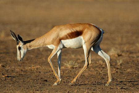 antidorcas: A springbok antelope (Antidorcas marsupialis), Kalahari desert, South Africa