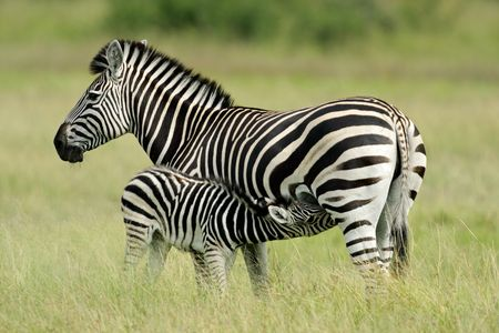 Plains (Burchell�s) Zebra (Equus quagga) mare with foal, Etosha National Park, Namibia, southern Africa Stock Photo - 3892165