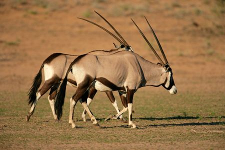 Gemsbok antelopes (Oryx gazella), Kalahari desert, South Africa Stock Photo - 4031987