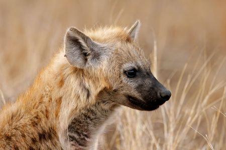 Portrait of a spotted hyena (Crocuta crocuta), Kruger National Park, South Africa photo