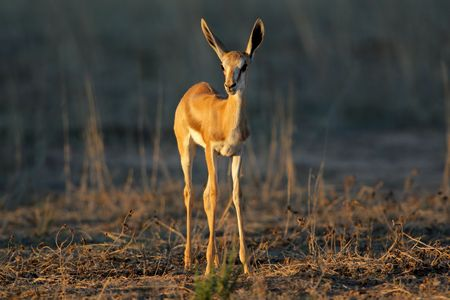 A young springbok lamb (Antidorcas marsupialis) in late afternoon light, Kalahari desert, South Africa Stock Photo - 4031985