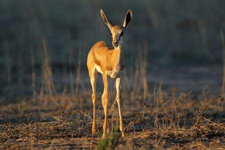 antidorcas: A young springbok lamb (Antidorcas marsupialis) in late afternoon light, Kalahari desert, South Africa
