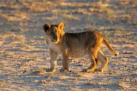 Small lion cub (Panthera leo) in early morning light, Kalahari desert, South Africa photo