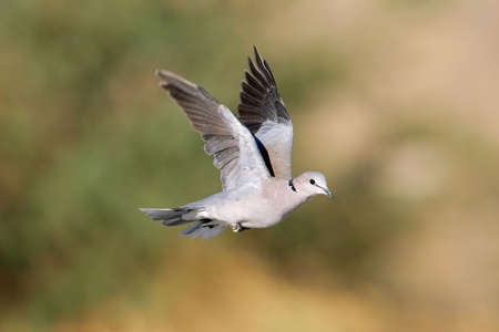 beak doves: Cape turtle dove (Streptopelia capicola) in flight, Kalahari desert, South Africa