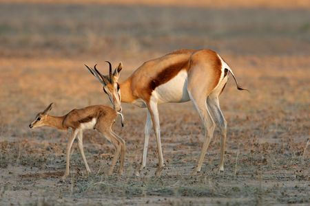 A springbok antelope (Antidorcas marsupialis) with lamb, Kalahari desert, South Africa Stock Photo - 4099430