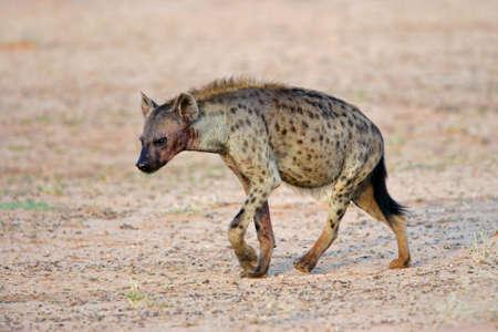 hyena: Spotted hyena (Crocuta crocuta) walking, Kalahari desert, South Africa