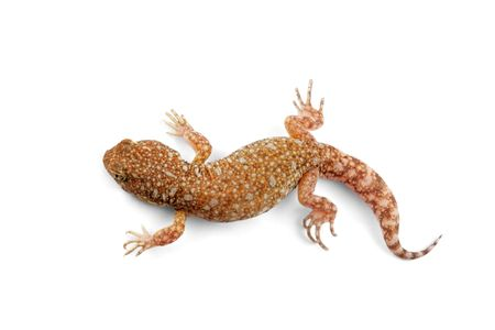 An African common barking gecko (Ptenopus garrulus) on white Stock Photo