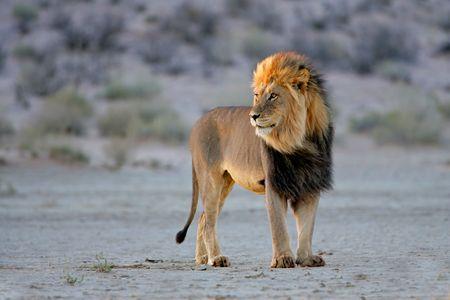 beast: Big male African lion (Panthera leo), in late afternoon light, Kalahari desert, South Africa