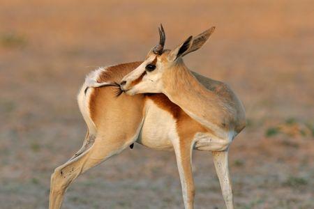 A springbok antelope (Antidorcas marsupialis), Kalahari desert, South Africa Stock Photo - 4161784