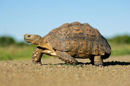 tortuga: Monta�a tortuga (Geochelone pardalis) en el medio ambiente natural, Sud�frica