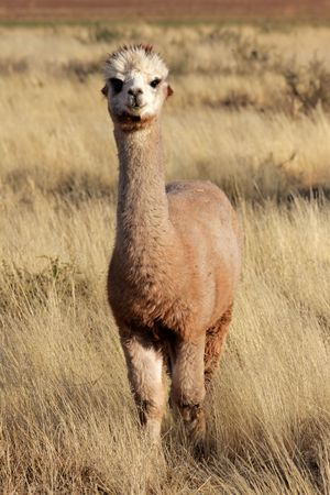 species: Alpaca (Vicugna pacos), domesticated species of South American camelid Stock Photo