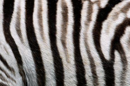 Close-up view of the skin of a Plains (Burchell's) Zebra (Equus quagga) Stock Photo - 4211270