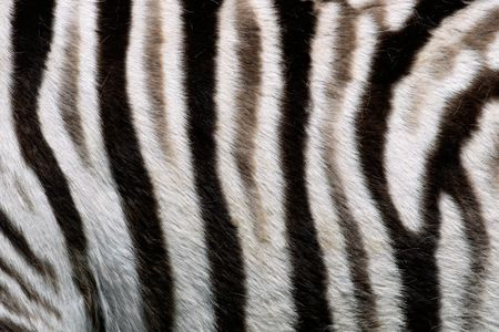 plains: Close-up view of the skin of a Plains (Burchells) Zebra (Equus quagga)