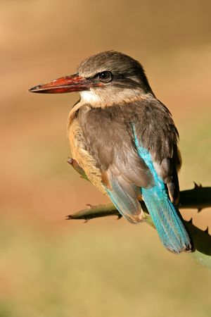 south african birds: Un africano marrone-incappucciati Kingfisher (Halcyon albiventris), Sud Africa