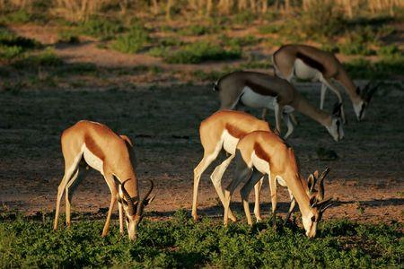 A small herd of springbok antelopes (Antidorcas marsupialis) grazing, Kalahari desert, South Africa Stock Photo - 4285924