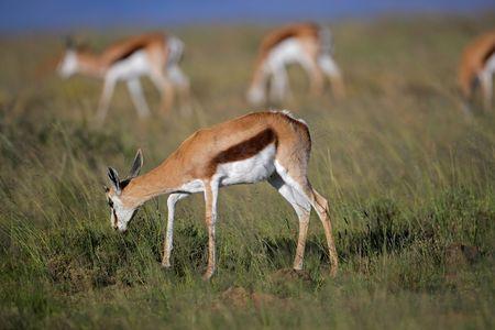 Springbok antelopes (Antidorcas marsupialis) grazing, South Africa Stock Photo - 4310064