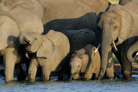 waterhole: Herd of African elephants (Loxodonta africana) at a waterhole, Hwange National Park, Zimbabwe, southern Africa
