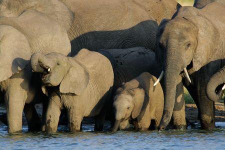 zimbabwe: Manada de elefantes africanos (Loxodonta africana) en una charca, el Parque Nacional Hwange, Zimbabwe, el sur de �frica