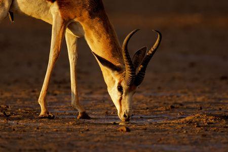 marsupialis: A springbok antelope (Antidorcas marsupialis) drinking water in late afternoon light, Kalahari desert, South Africa LANG_EVOIMAGES
