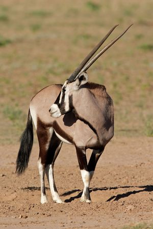 Gemsbok antelope (Oryx gazella), Kalahari desert, South Africa Stock Photo - 4359446