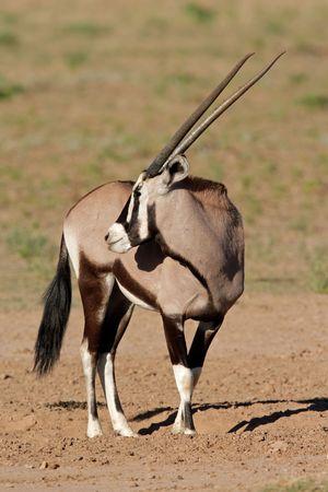 Gemsbok antelope (Oryx gazella), Kalahari desert, South Africa Stock Photo - 4359446