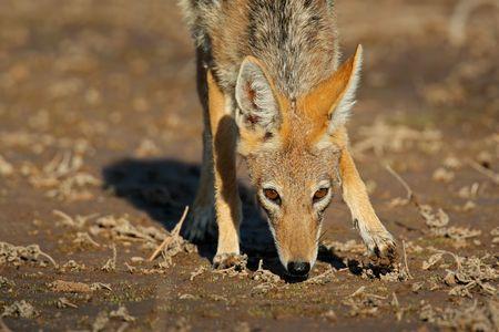 elusive: Black-backed Jackal (Canis mesomelas), Kalahari desert, South Africa