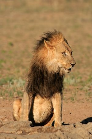 Big, black-maned African lion (Panthera leo), Kalahari desert, South Africa Stock Photo - 4361016