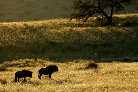 taurinus: Blue wildebeest (Connochaetes taurinus) among grasses at sunrise, Kalahari, South Africa