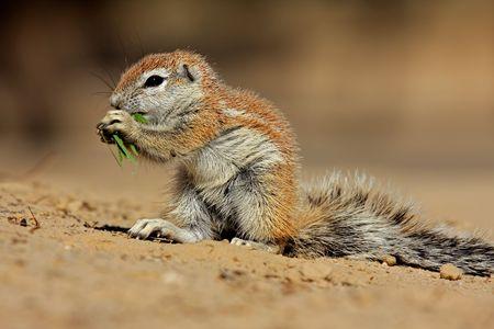 Feeding ground squirrel (Xerus inaurus), Kalahari desert, South Africa  photo