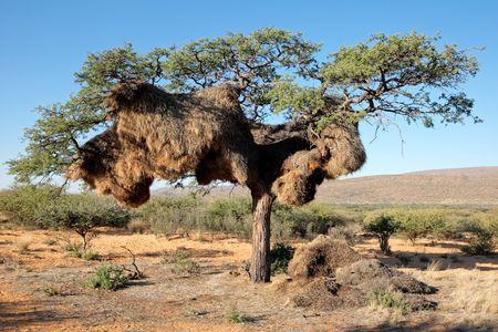 sociable: Nido comunale di socievole tessitori (Philetairus socio) in un albero di Acacia in Africa, Kalahari, Sud Africa