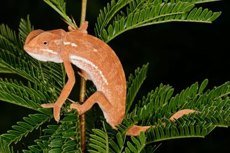 africa chameleon: Flap-neck chameleon (Chamaeleo dilepsis) on the leaves of an African Acacia tree, South Africa Stock Photo
