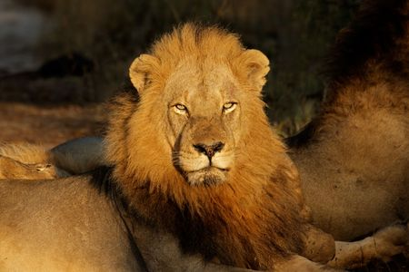 panthera leo: Portrait of a big male African lion (Panthera leo), South Africa LANG_EVOIMAGES