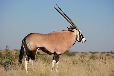 kalahari desert: Gemsbok antelope (Oryx gazella), Kalahari desert, South Africa