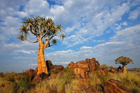 quiver: Woestijnlandschap met granieten rotsen en een quiver boom (Aloe dichotoma), Namibië, Zuid-Afrika