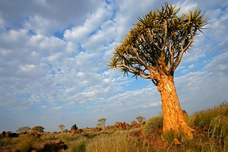 Desert landscape with granite rocks and a quiver tree (Aloe dichotoma), Namibia, southern Africa Stock Photo