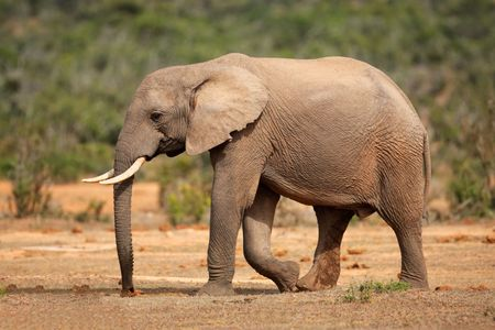 herbivore natural: Walking African elephant (Loxodonta africana), South Africa Stock Photo