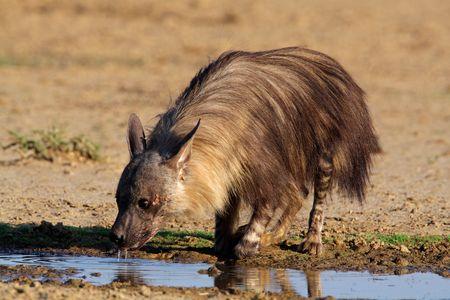 voracious: A brown hyena (Hyaena brunnea) drinking water, Kalahari, South Africa