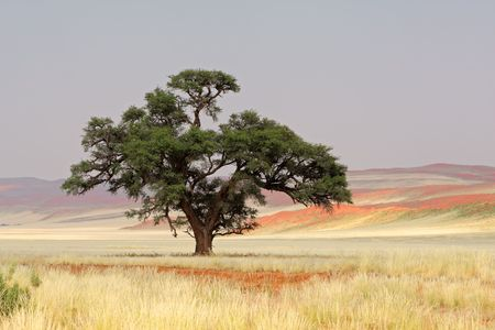 unspoiled: Landscape with an African Acacia tree (Acacia erioloba), Sossusvlei, Namibia, southern Africa