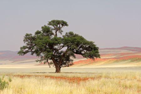 unspoiled: Paisaje con un �rbol africano Acacia (Acacia erioloba), Sossusvlei, Namibia, �frica meridional