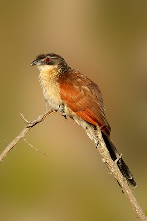 south african birds: Un Burchell's coucal (Centropus burchellii) appollaiato su un ramo, Sud Africa