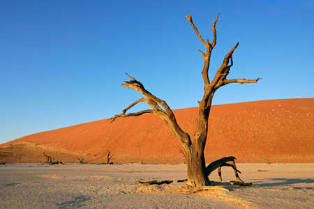 Dead Acacia tree against a red sand dune and blue sky, Sossusvlei, Namibia, southern Africa