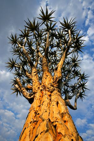 Quiver tree (Aloe dichotoma) against a cloudy sky, Namibia, southern Africa Stock Photo - 4857009