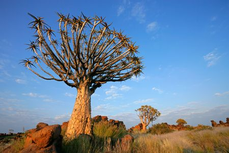 Desert landscape with granite rocks and a quiver tree (Aloe dichotoma), Namibia, southern Africa Stock Photo - 4855313