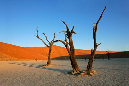 drought: Muerto en contra de un �rbol de acacia roja duna de arena y cielo azul, de Sossusvlei, Namibia, �frica meridional