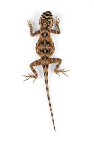 aculeata: Female African ground agama (Agama aculeata) on white