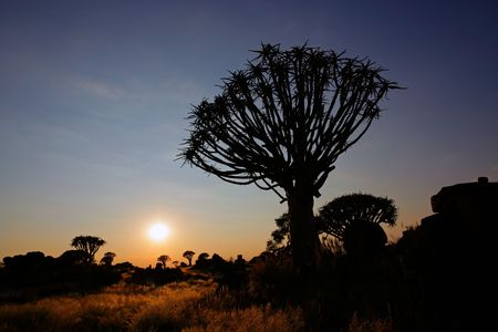 Silhouette of a quiver trees (Aloe dichotoma) at sunrise, Namibia, southern Africa Stock Photo - 4894063