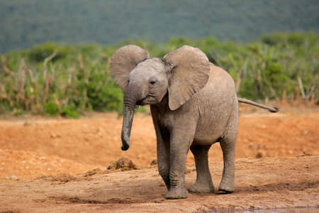 africana: A young African elephant (Loxodonta africana), South Africa LANG_EVOIMAGES
