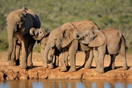 waterhole: African elephants (Loxodonta africana) drinking water at a waterhole, South Africa LANG_EVOIMAGES