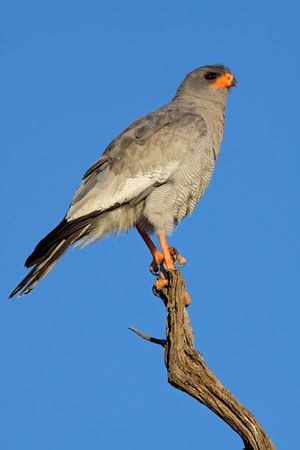 chanting: Pale Chanting goshawk (Melierax canorus) perched on a branch, South Africa Stock Photo